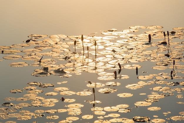 Het ochtendzonlicht bespatte neer in de natuurlijke schoonheid van de lotusbloemochtend.