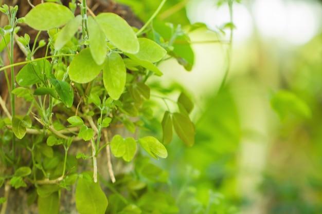 Het onduidelijke beeld van boombladeren voor aardachtergrond en bewaart groen concept