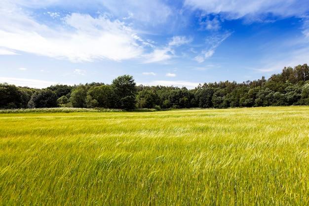 Het onrijpe groene gras groeit op landbouwgebied