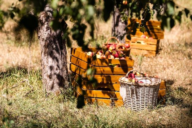 Het oogsten van appelsregeling in de natuur