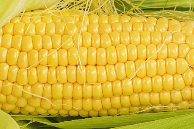 Het oogsten van de herfstoogst. rijpe gele maïs macro foto close-up.