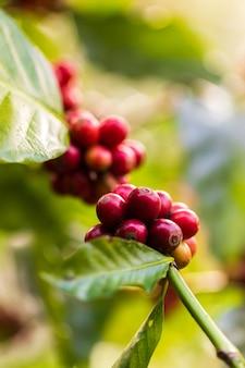 Het oogsten van koffiebessen door landbouw. koffiebonen rijpen aan de boom in het noorden van thailand