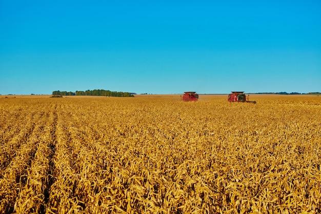 Het oogsten van maïsvelden met maaidorser