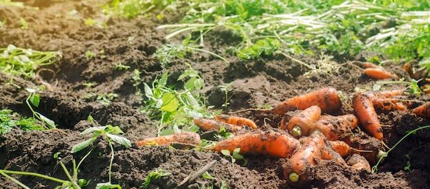 Het oogsten van wortel op het veld.