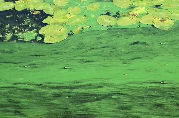 Het oppervlak van een oud moeras bedekt met kroos en leliebladeren