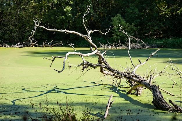 Het oude drijfhout steekt uit van groen eendekroosmeer