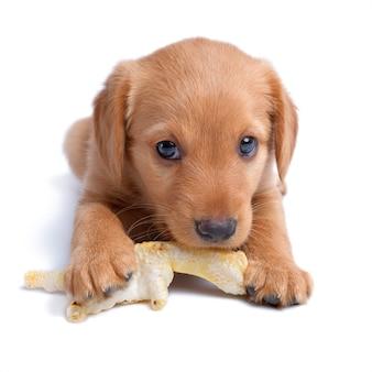 Het oude russische puppy van acht weken knaagt aan het stuk speelgoed van kippenvoeten
