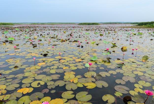Het overzees van rode lotusbloem of waterlelie in talay-noi wetland, thailand