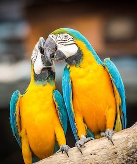 Het paar blauwe en gele ara