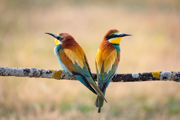 Het paar van bij-eters streek op een tak neer bekijkend verschillende kant
