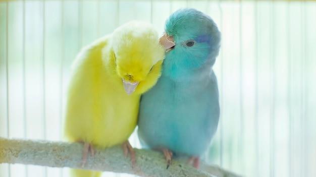 Het paar van kleine papegaai is sittng en schoonmakende veertigether op tak.