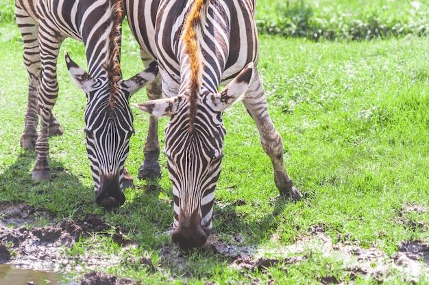 Het paar van zebra eet en drinkt van grasgebied