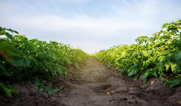 Het pad tussen de rijen van de aardappelplantage het verbouwen van voedselgroenten agro-industrie