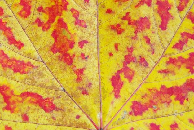 Het patroon van een esdoornblad als achtergrond