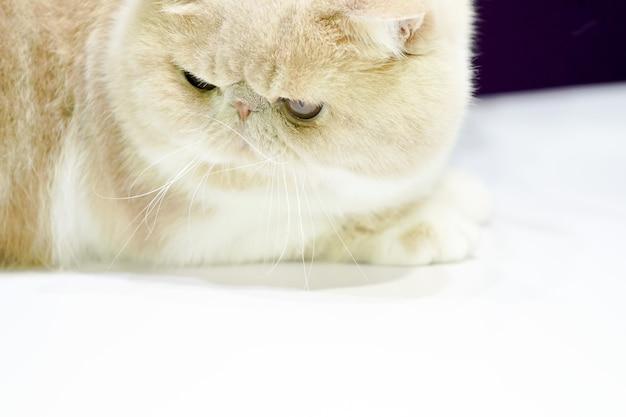 Het perzische licht korte lichtbruine en witte haar kijkt neer op de witte tafel.