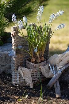 Het planten van bollen van muscari-bloemen in de tuin. verblijf in het land. zorg voor de natuur