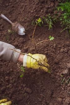 Het planten van fruitspruiten door landbouwer in tuinbed van landhuis. tuin seizoensgebonden werkconcept