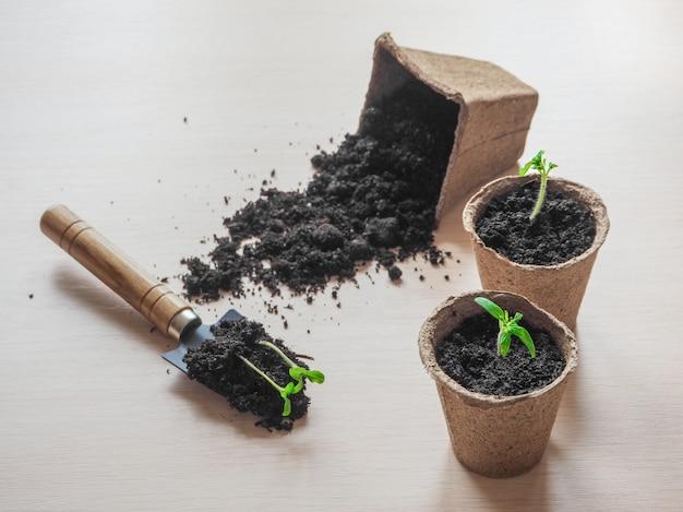Het planten van jonge tomatenzaailingen in turfpotten op houten lijst. landbouw, tuin, voedsel van eigen bodem, groenten, duurzaam huishoudconcept.