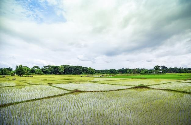 Het planten van rijst op regenseizoen aziatische landbouw