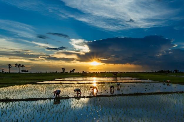 Het planten van rijstboeren die zaailingen trekken om in het veld te worden geplant