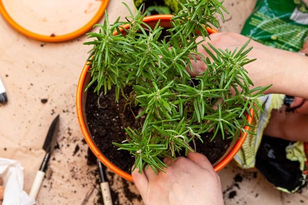 Het planten van rozemarijnspruitproces in een pot thuis met handen