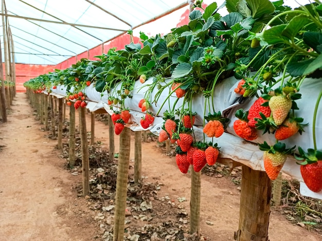 Het planten van verse biologische aardbeien geteeld in de kas. selectieve focus