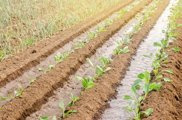 Het planten van zaailingenkool op het gebied
