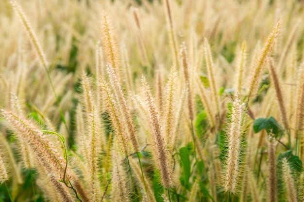 Het poaceaegras bloeit gebied en poaceae-achtergrond