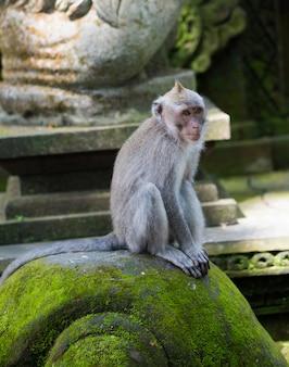 Het portret van aap ontspant zit op de rots