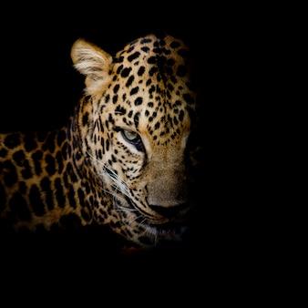 Het portret van de luipaard isoleert op zwarte achtergrond