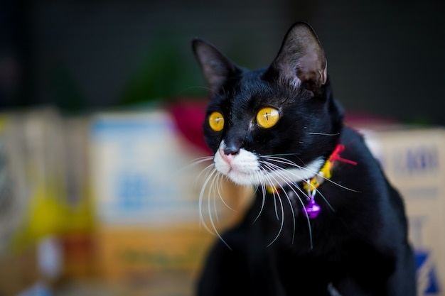 Het portret van de zwarte kat met gele ogen sluit omhoog.