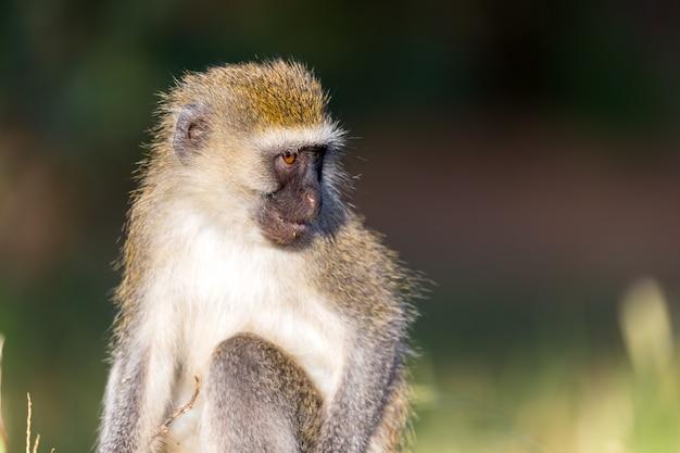 Het portret van een aap in de savanne van kenia