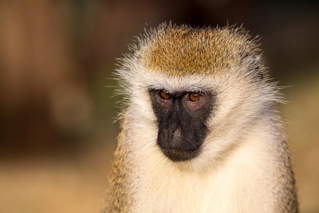 Het portret van een aap in de savanne