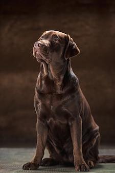 Het portret van een bruine labradorhond