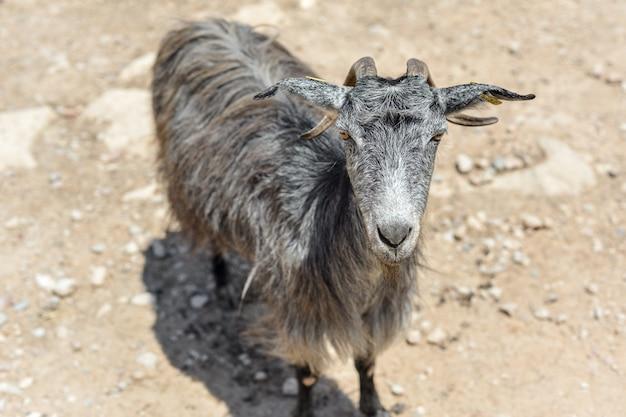 Het portret van een grijze geit op de weg in de bergen op een zonnige dag. kreta, griekenland