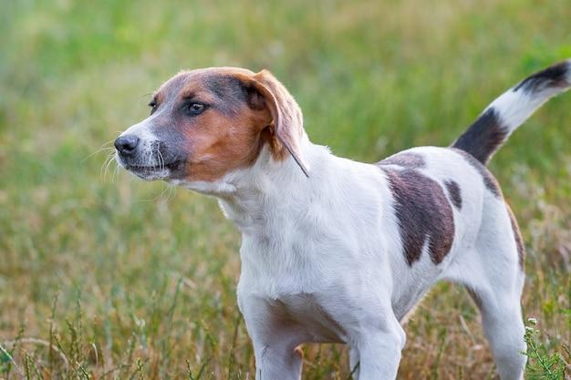 Het portret van een hond fokt een estlandse hond