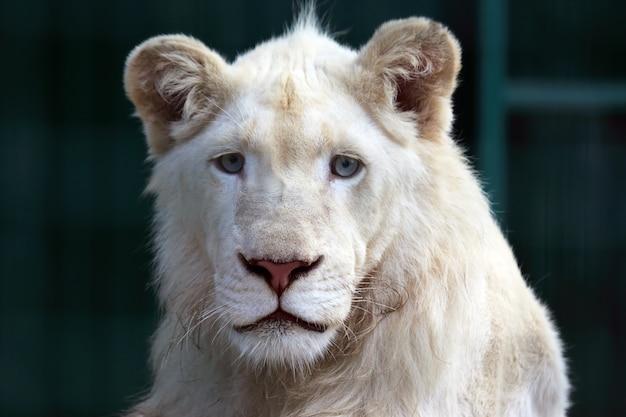 Het portret van een jonge witte leeuw