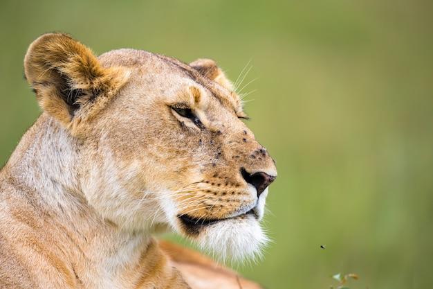 Het portret van een leeuwin, ze ligt in het gras in de savanne