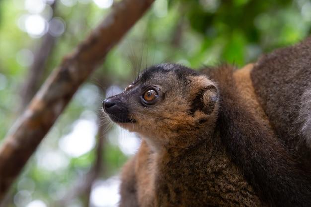 Het portret van een rode maki in zijn natuurlijke omgeving Premium Foto