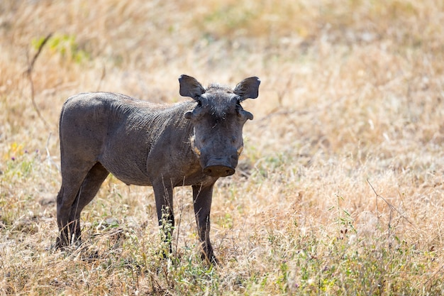 Het portret van een wrattenzwijn midden in het gras
