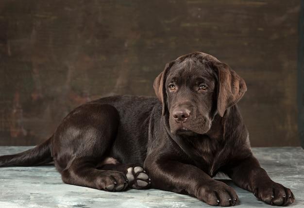 Het portret van een zwarte labrador hond genomen tegen een donkere achtergrond.