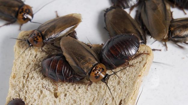 Het probleem in het huis vanwege kakkerlakken die in de keuken wonen. kakkerlak die volkoren brood eet op een witte achtergrond. kakkerlakken zijn dragers van de ziekte.