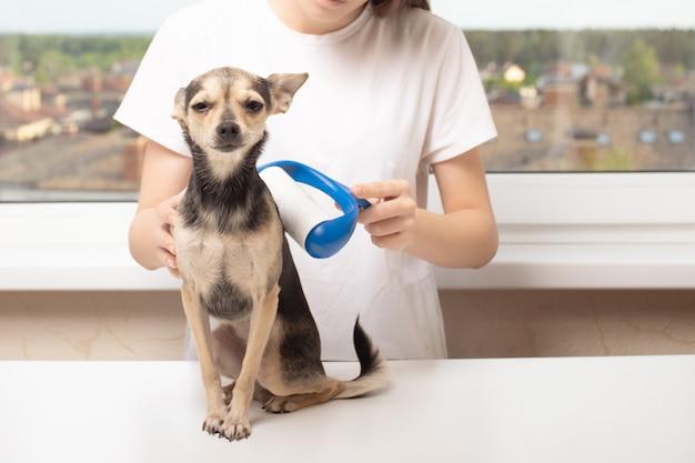 Het probleem met hondenhaar. meisje houdt een huisdier vast, rolt het met een kleefroller voor kleding