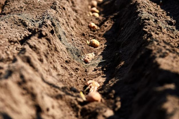 Het proces om aardappelgebied in de moestuin te planten, sluit omhoog. pootaardappelen. seizoenswerk.