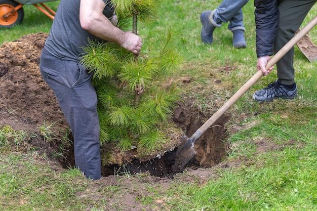 Het proces van het planten van een cederboom door een groep mannen.