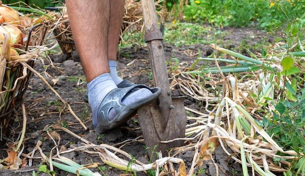 Het proces van het uitgraven van uien uit de grond in de tuin