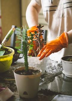 Het proces van het verplanten van kamerplanten