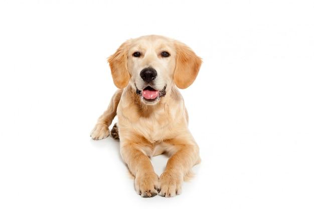 Het puppy van de golden retrieverhond op wit wordt geïsoleerd dat