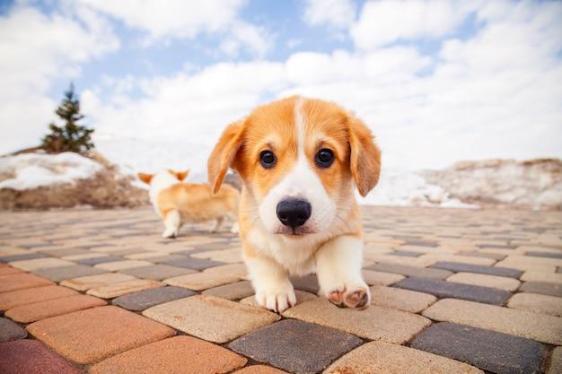 Het puppy van grappige rode welse corgi pembroke loopt openlucht, loopt, hebbend pret in wit sneeuwpark, de winterbos.