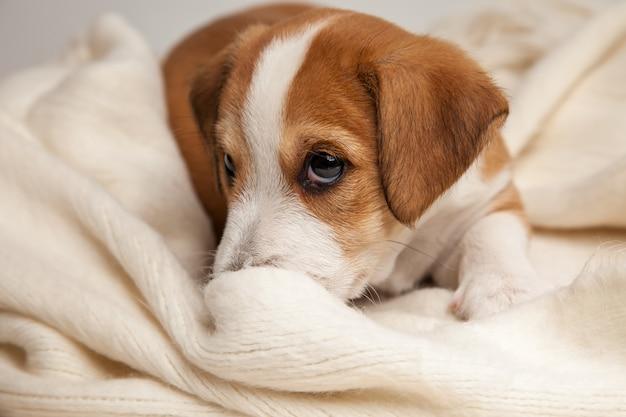 Het puppy van jack russell terrier ligt op houten vloer